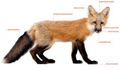 Die ausgefuchsten - Fuchs + Friends