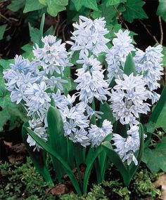 Puschkinia Libanotica - Yields numerous spikes with clusters of delicate pale blue scilla like flowers with darker stripes and shiny strap-like foliage. April-May blooms