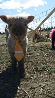 Babydoll Lamb in his easter outfit 2015