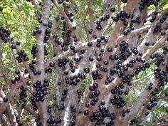 Veja 10 árvores frutíferas para plantar em vasos na semana do Meio-Ambiente - BOL Fotos - BOL Fotos
