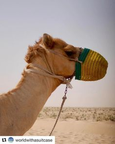 with this is a young version of camel they can reach the age of 50 Instagram Feed, Instagram Posts, Uae, Beautiful Day, Animals, Animaux, Animal, Animales, Animais