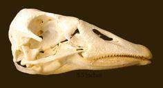 Domestic Goose Skull