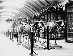 Natural History Museum 1892. Osteological Gallery