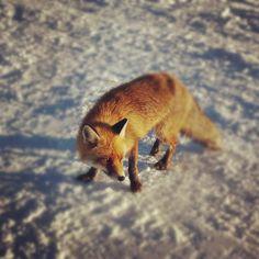 the fox by Bogdan Constantin on 500px