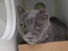 http://nyccats.urgentpodr.org/ram-17013/Gray S DSH Super Urgent Shelter Cats  These animals are either high risk, injured or have previously appeared on the To Be Destroyed list and survived. They are in danger of being on the list again or destroyed without any further notice.