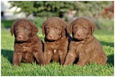 One day I/we will own a Chessie again!! Best Dog Ever! Chesapeake Bay Retriever : Dog Breeds Pictures!