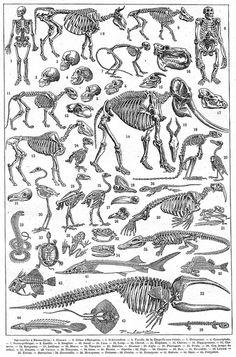 Squelette - Larousse universel - 1922
