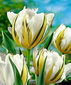 Exotic Emperor Fosteriana 10 Tulip Bulbs - 12/+ cm bulb