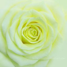 Lime Rose Close-up