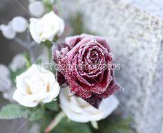 růže na hrobě — Stock obrázek #40336105