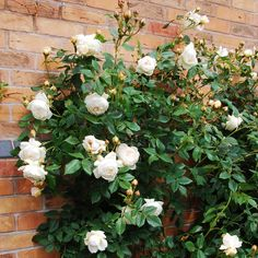 Claire Austin - highly fragrant, climbing rose. Very disease resistant, grows to 12 ft and has a myrrh, meadowsweet and vanilla scent