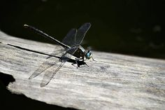 Blue Eyed Dragonfly on a Log Art Print by Christina Rollo. All prints are professionally printed, packaged, and shipped within 3 - 4 business days. Choose from multiple sizes and hundreds of frame and mat options. Beautiful Blue Eyes, Thing 1, Gifts For Nature Lovers, All Print, Online Art, Fine Art America, Landscape, Printed, Business