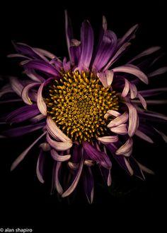 [CasaGiardino]  ♡  Genus Chrysanthemum in the family Asteraceae?