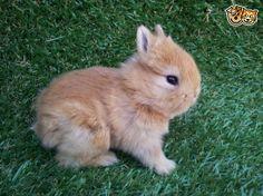 I WANT IT!!!!!!!!!!!!!!!!!!!!!!!!!!!!!!!!!!!!!!!!!!!!!!!!  Netherland Dwarf Bunny