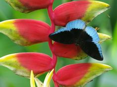 Day Butterfly Euthalia godarti Nymphalidae -one of the rare species of Kalimantan.