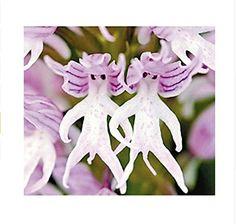 Orchideen Samen Italian Men Dreamlife https://www.amazon.de/dp/B01GZN6W5M/?m=A37R2BYHN7XPNV