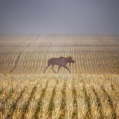 Alberta Moose. See this Instagram photo by @_bozlo_