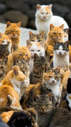 An army of cats outnumbers people six to one on the remote Japanese island of Aoshima...Click for short Video