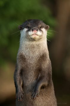 Asian Otter Portrait (by Old-Man-George)