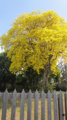 Yellow Poui tree (brilliant golden yellow) in bloom – captured photo near Crown Point, Tobago,