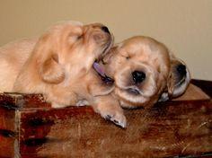Golden Retriever puppies   ahhhhhhhh!! @Mary Kate Kempf