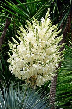 Yuccas are New World plants in the family Agavaceae and are an important genus in terms of ornamental landscaping usage as well as of an economic importance in some areas of its range. Plants, Flora, Home And Garden, Flowers, Zone 3, Seeds, Plant List, Garden, Yucca Filamentosa