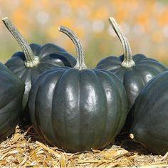 Tiptop PMR Squash Seeds (Cucurbita pepo) + FREE Bonus 6 Variety Seed Pack - a $30 Value!