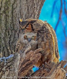 and break clear away, once in awhile, and climb a mountain or spend a week in the woods. and in the eternal youth of Nature you may renew your own. Owl Bird, Pet Birds, Cute Baby Animals, Animals And Pets, Camouflage, Owl Pictures, Great Horned Owl, Beautiful Owl, Baby Kittens