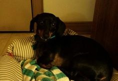 Meet Buddy, a Petfinder adoptable Dachshund Dog | Aurora, IL | BUDDY is a sweetheart - a 2-year old black & red Miniature Dachshund and weighs about 10 lbs. ...