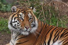 Sumatran tiger, female, San Francisco Zoo | by birdbuddy