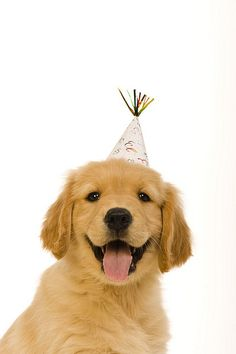 "Kick off 2014 the right way, here are 10 breeds who go the extra mile in the ""party like there's no tomorrow"" department. All Dogs, Dogs And Puppies, Doggies, Dogs Golden Retriever, Golden Retrievers, Animal Party, Animal Photography, Puppy Love, Animal Pictures"