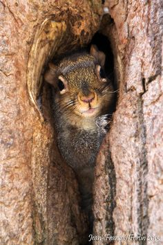A squirrel finds a safe place to check out the world.  Wildlife and nature photography by Jean-François Fortin.