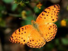 Golden butterfly.