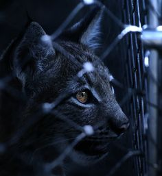 #lince