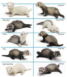 Ferret Colors and Patterns - Ferrets as Pets Ferrets Care, Funny Ferrets, Baby Ferrets, Cute Baby Animals, Animals And Pets, Funny Animals, Ferret Colors, Tier Zoo, Otters