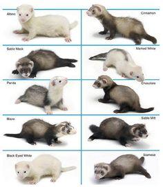 Ferret Chart