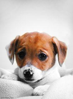 Wat een lieve Jack Russell #Puppy! Wist je dat #Royalcanin speciale rasvoeding heeft voor volwassen Jack Russels? Je vindt het bij #PetsPlace!