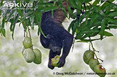 Mantled howler monkey photo - Alouatta palliata - G130795   ARKive
