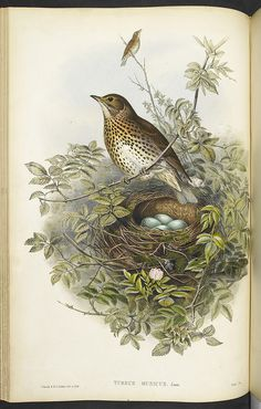 The Birds of Great Britain. - caption: 'A Thrush, sitting above its nest, containing eggs.' | by The British Library