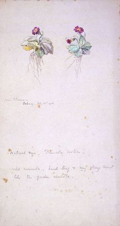 Primula Scotica | Beatrix Potter | V&A Search the Collections