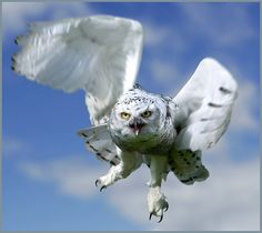 snowy owl pictures   Snowy owl in flight.   Flickr - Photo Sharing!