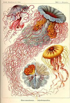 Vintage jellyfish illustration
