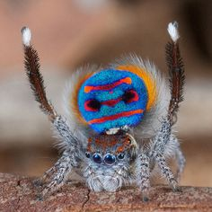 Araña Maratus en etapa de cortejo