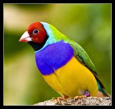 Gouldian Finch | Lady Gouldian Finch (Male) | Amazing places | Pinterest