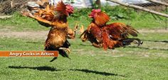 pictures of roosters and chickens full hd for desktop, beautiful red and blue colors images of roosters fighting, cute egg wallpaper for computer and laptop photography. amazing themes with images of. Simple Twist Of Fate, Visions Of Johanna, Rooster Breeds, Hd Cool Wallpapers, Government Shutdown, Desktop Pictures, Poker Online, Raising Chickens, Your Turn