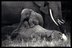 lil baby elephant