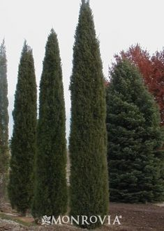 Taylor Juniper~ Semi-soft,blue-green foliage and narrow columnar form provides a refined,elegant look. This handsome selection maintains a more dense, upright form than other similar plants.Makes a great privacy screen. Privacy Landscaping, Backyard Pool Landscaping, Landscaping Ideas, Minnesota Landscaping, Patio Decks, Landscape Design, Garden Design, Landscape Architecture, Monrovia Plants