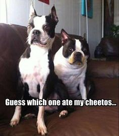"""""""Which one of you found my secret stash of Cheetos? I guess we'll never know."""" ~ Dog Shaming shame - Boston Terrier Dump A Day Funny Pictures Of The Day - 92 Pics Love My Dog, Humor Animal, Animal Memes, Funny Animal Pictures, Funny Animals, Cute Animals, Animal Pics, Funny Photos, Funny Dogs"""