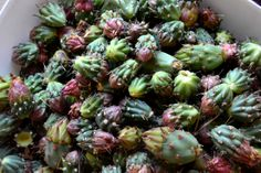 Before cleaning - Cholla flower buds. Will be dehydrated, pickled and cooked.