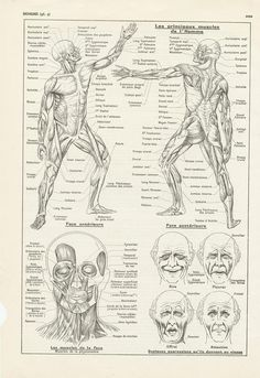 Antique muscles human anatomy print from Vintage medical office decor. Corner Drawing, Anatomy Back, Gifts For Professors, Medical Office Decor, Gift Guide For Men, Vintage Medical, Science Student, Vintage Butterfly, Free Prints